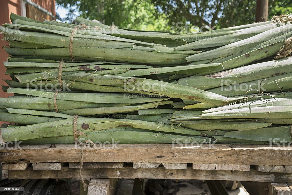 Long-wise view of a Cactus stock photo