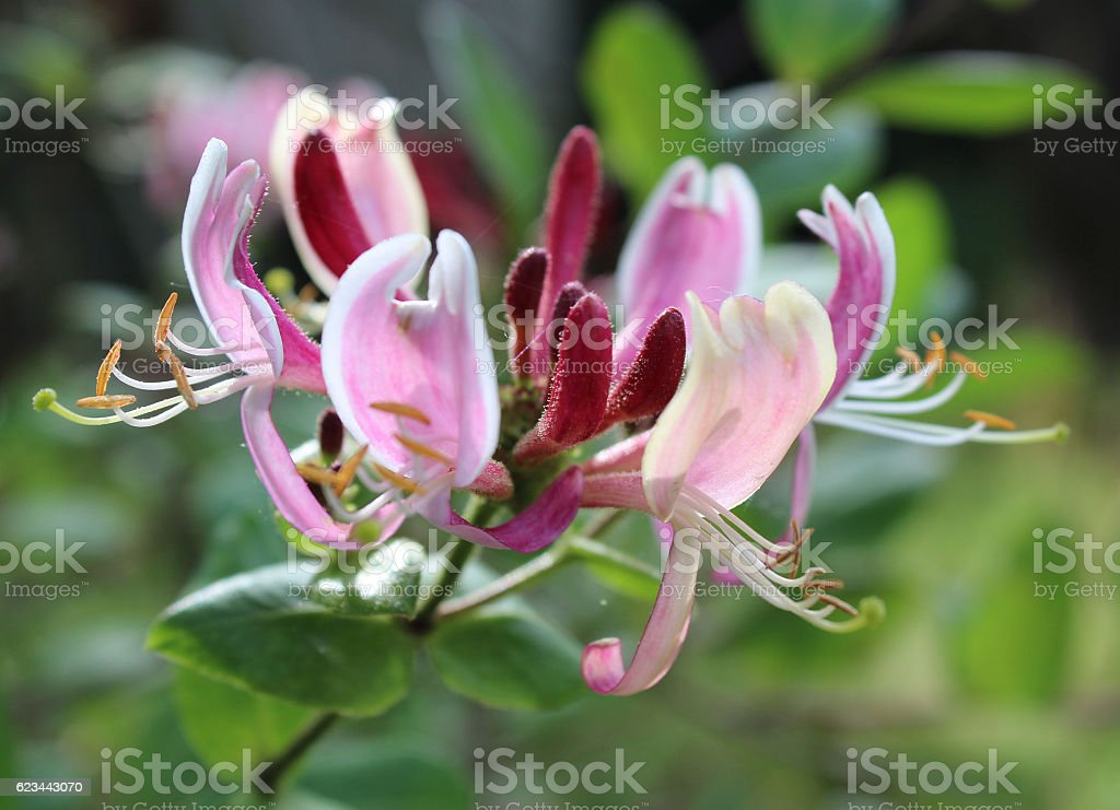Lonicera 'Belgica' stock photo