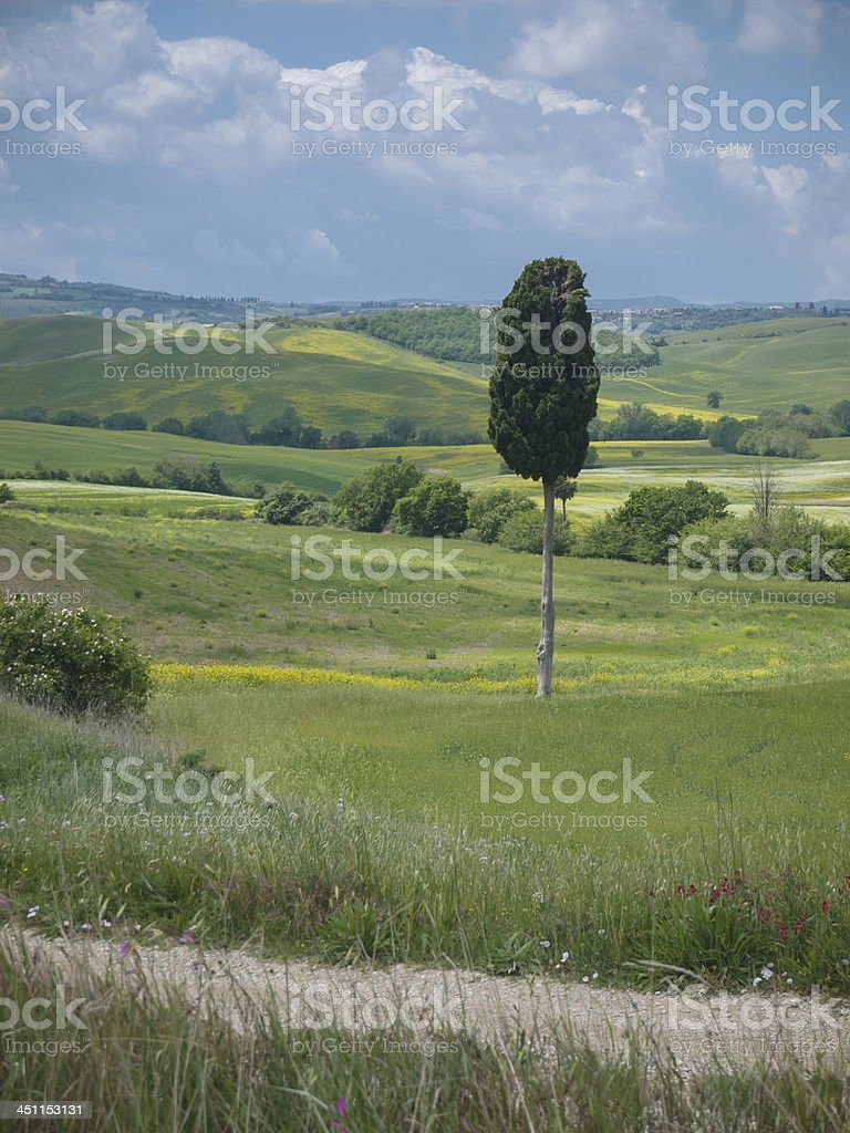 Lonley cypress tree in Tuscan landscape royalty-free stock photo