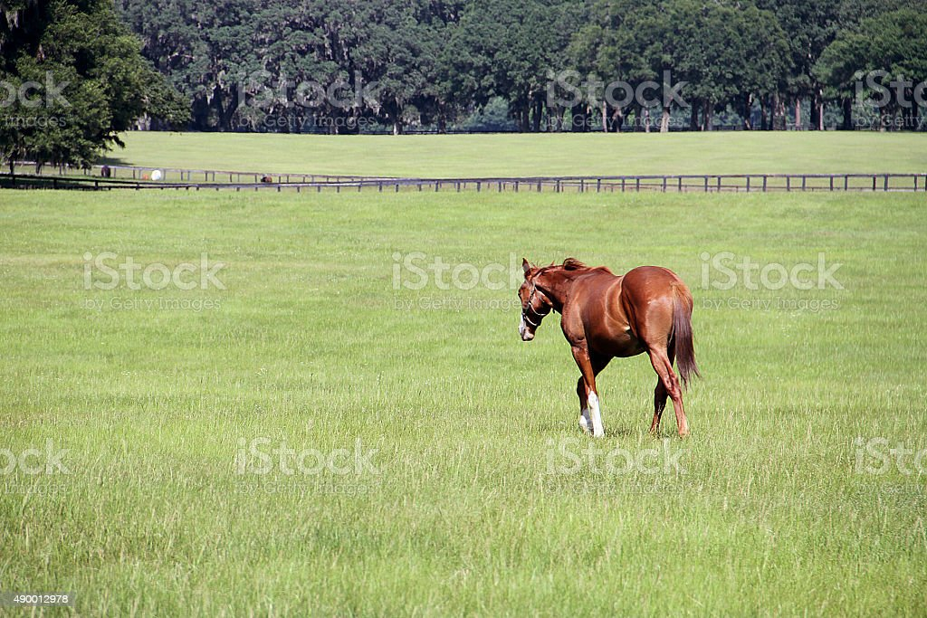 Lonly hourse walking on a green land in a farm stock photo