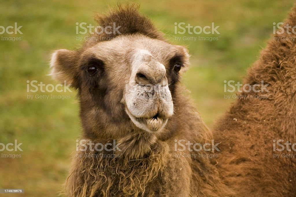 Look of the Bactrian Camel royalty-free stock photo
