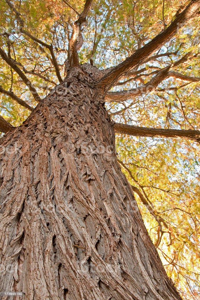 Look up tree royalty-free stock photo
