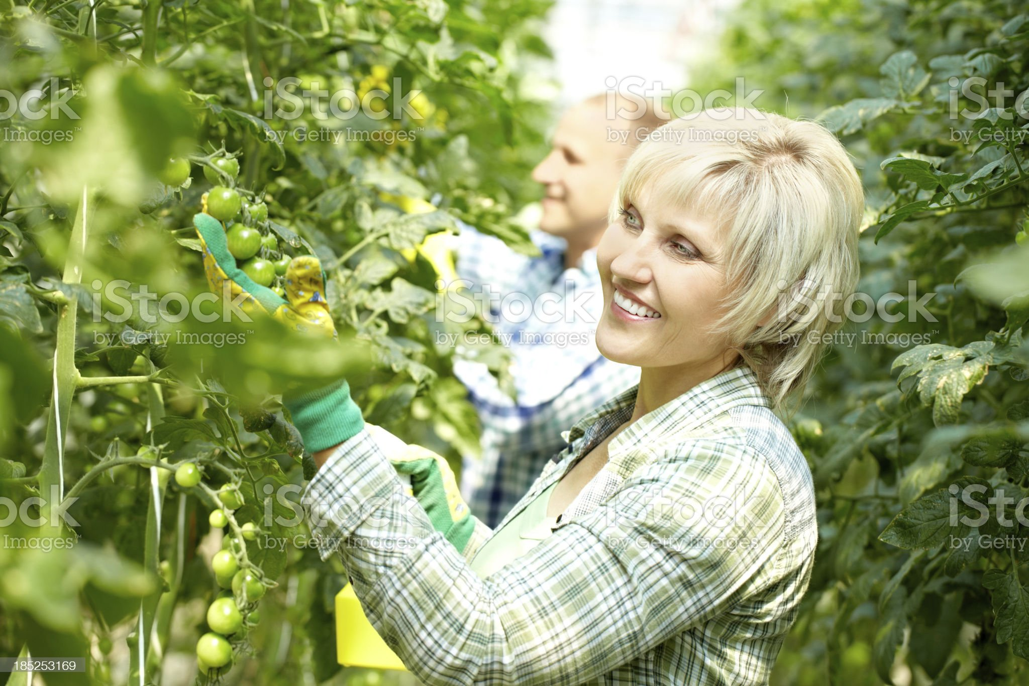 Looking after tomato trees royalty-free stock photo