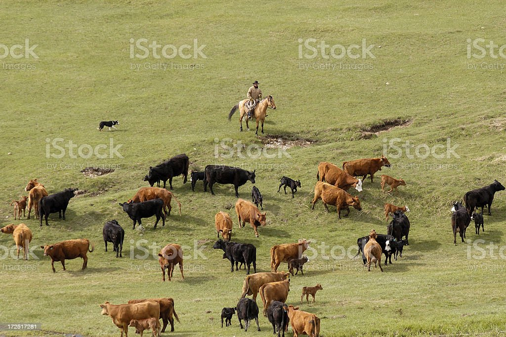 Looking at Cattle from Above royalty-free stock photo