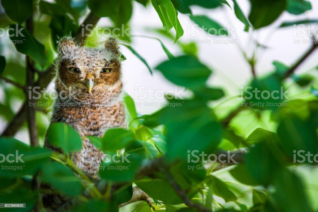 Looking Baby Screech Owl stock photo