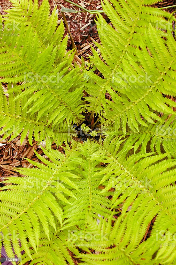 Looking down into a fern royalty-free stock photo