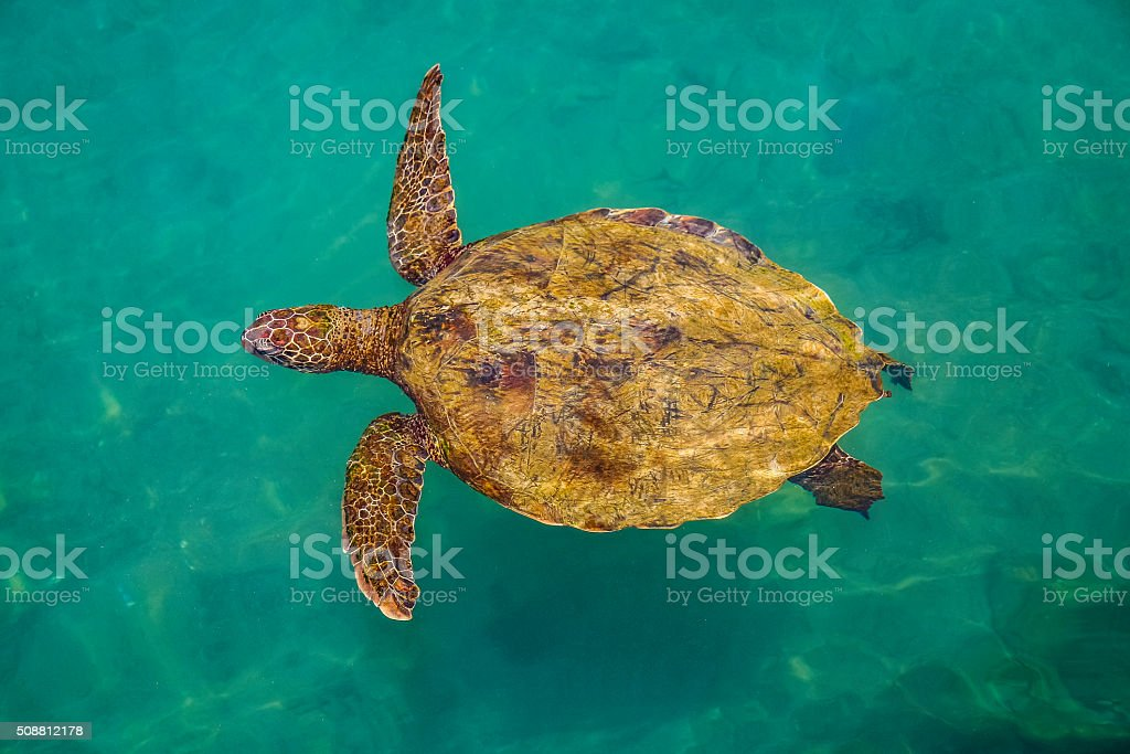 Looking down on giant turtle swimming in water stock photo