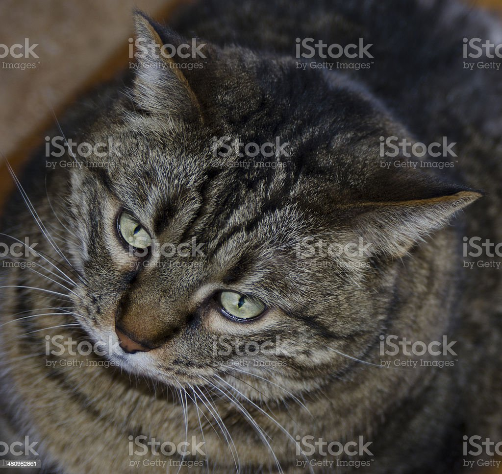 Looking Down on Very Large Cat royalty-free stock photo