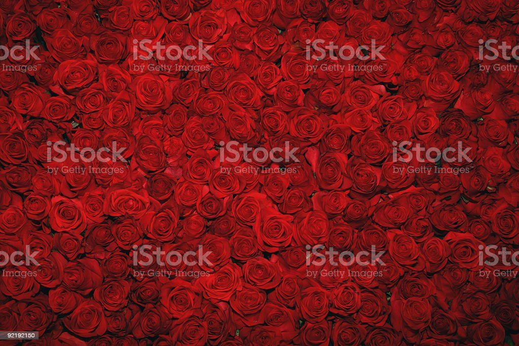 Looking down upon a bed of rich, red roses stock photo