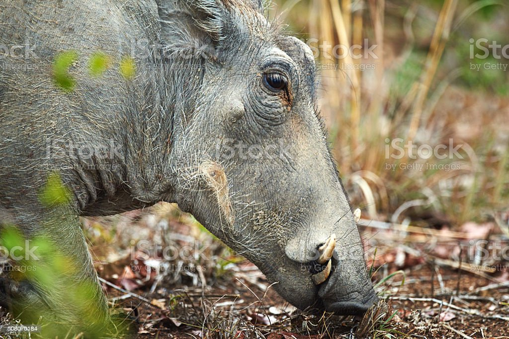 Looking for some mud to wallow in stock photo