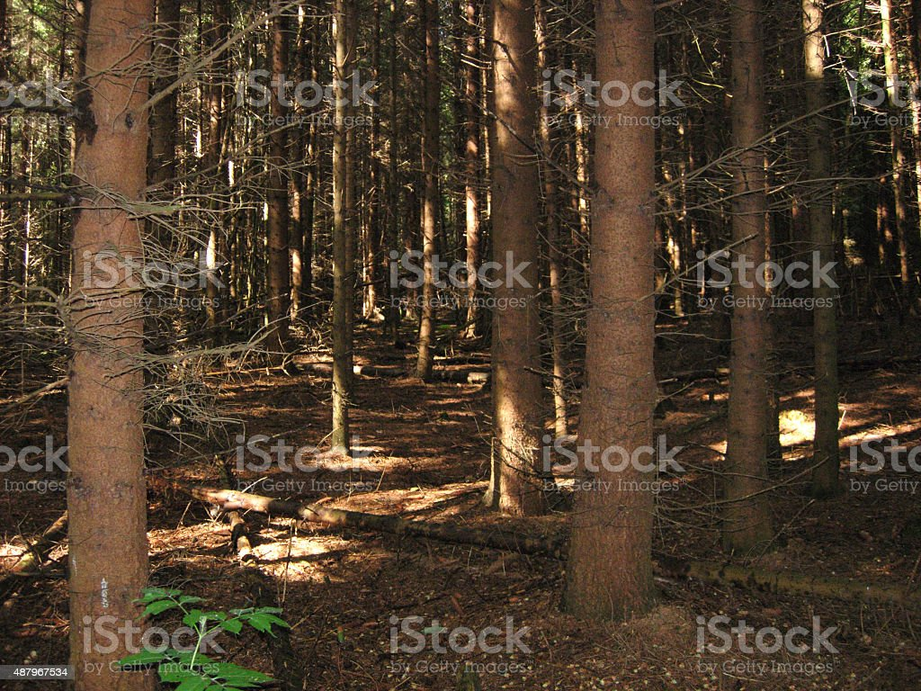 Looking in a coniferous forest stock photo