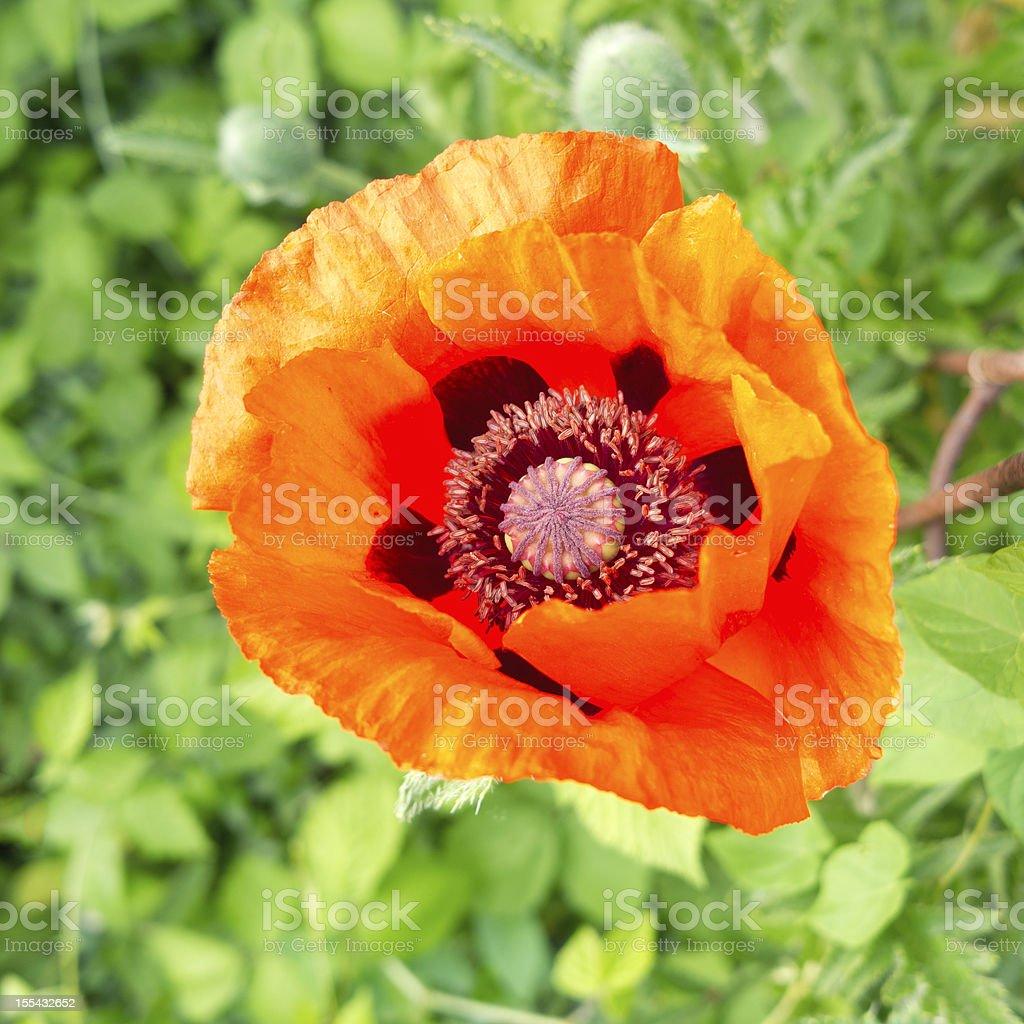 Looking inside an orange oriental poppy in full bloom. stock photo