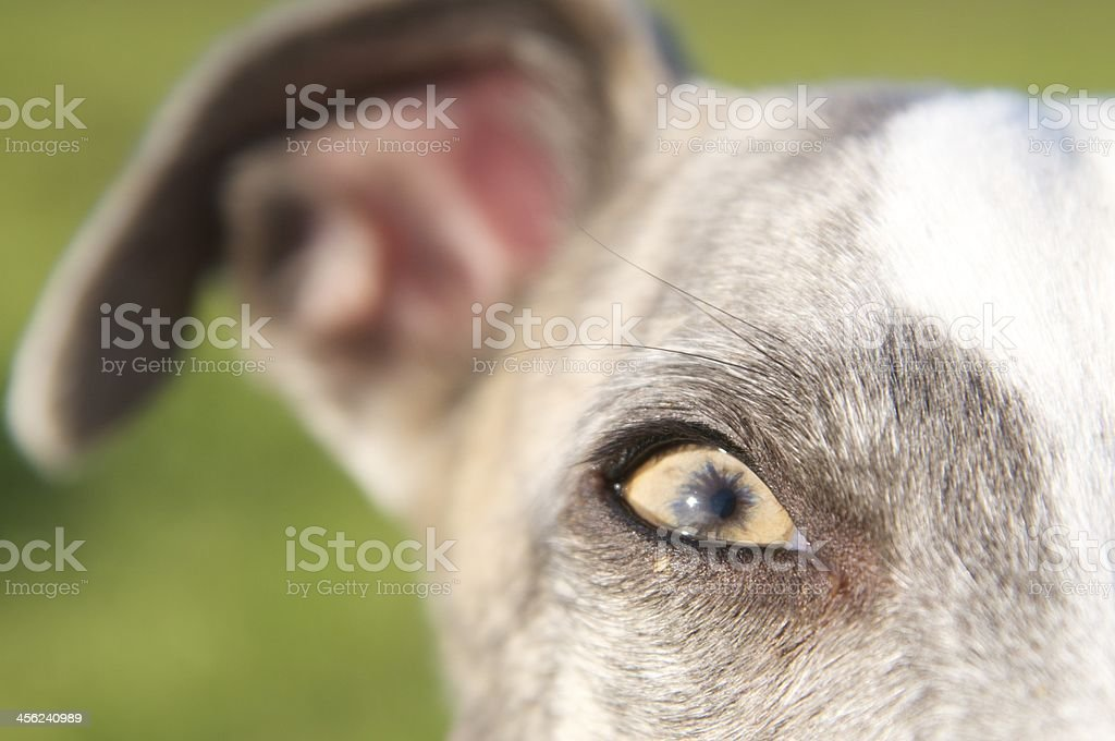 Looking into the eye of a whippet royalty-free stock photo