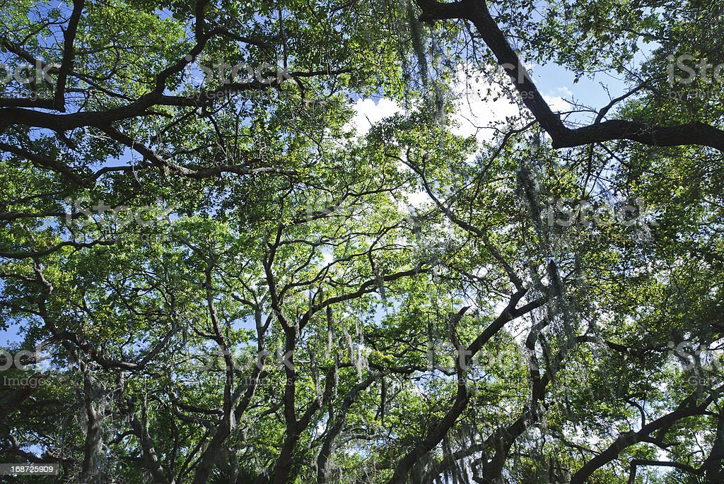 Looking overhead through trees at bright blue sky stock photo
