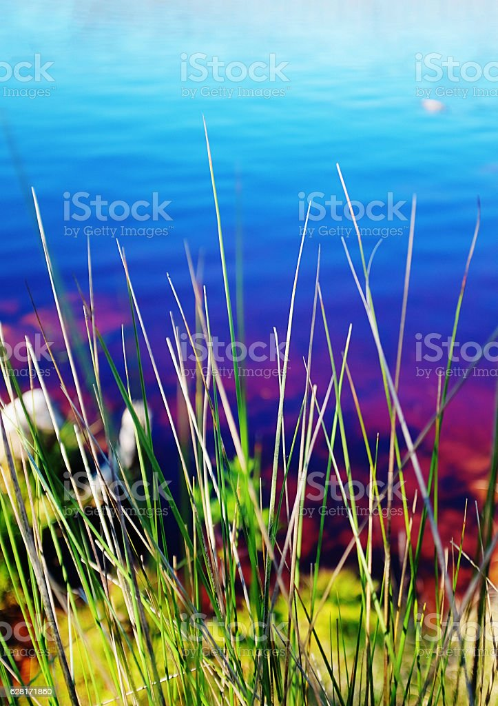 Looking through reeds at beautful blue lake with water lilies stock photo