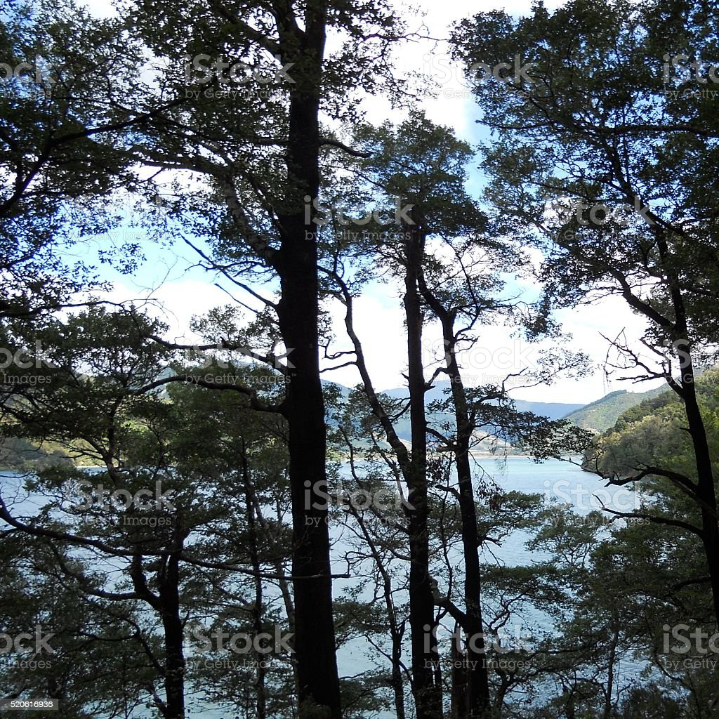 Looking Through Tall Trees To Water stock photo