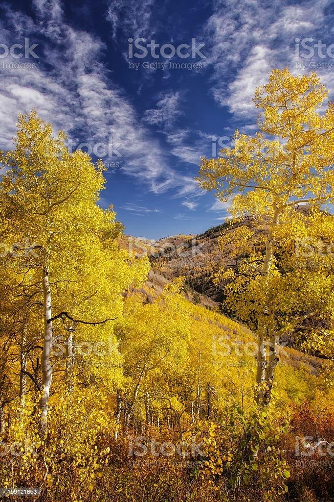 Looking Through the Autumn Aspens royalty-free stock photo