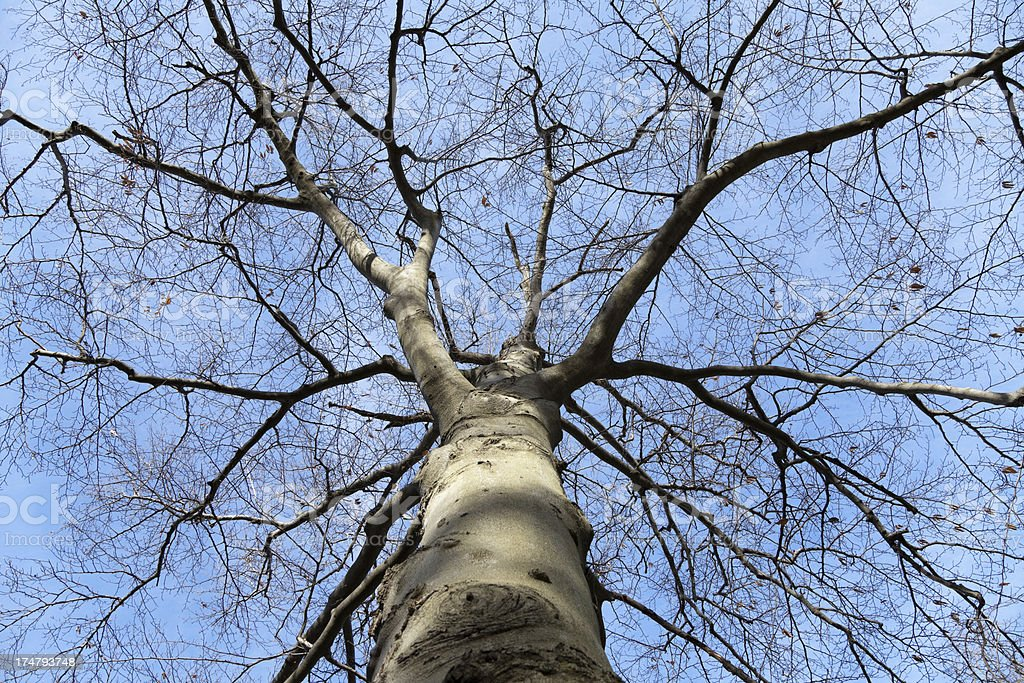 Looking towards the sky through a large old elm tree. royalty-free stock photo