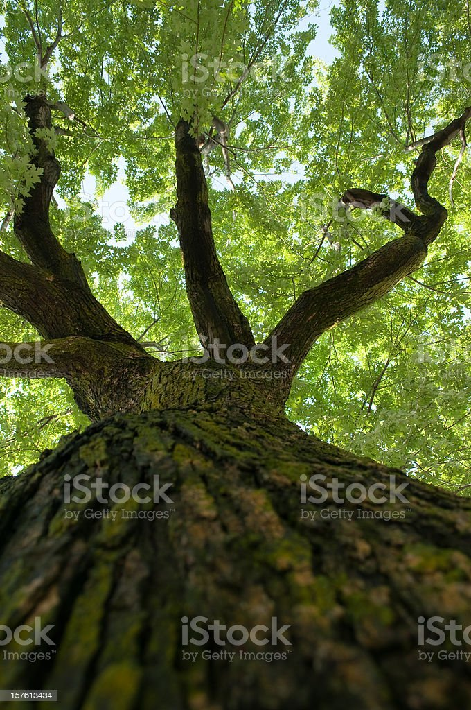 Looking up an old maple tree towards the leaves stock photo