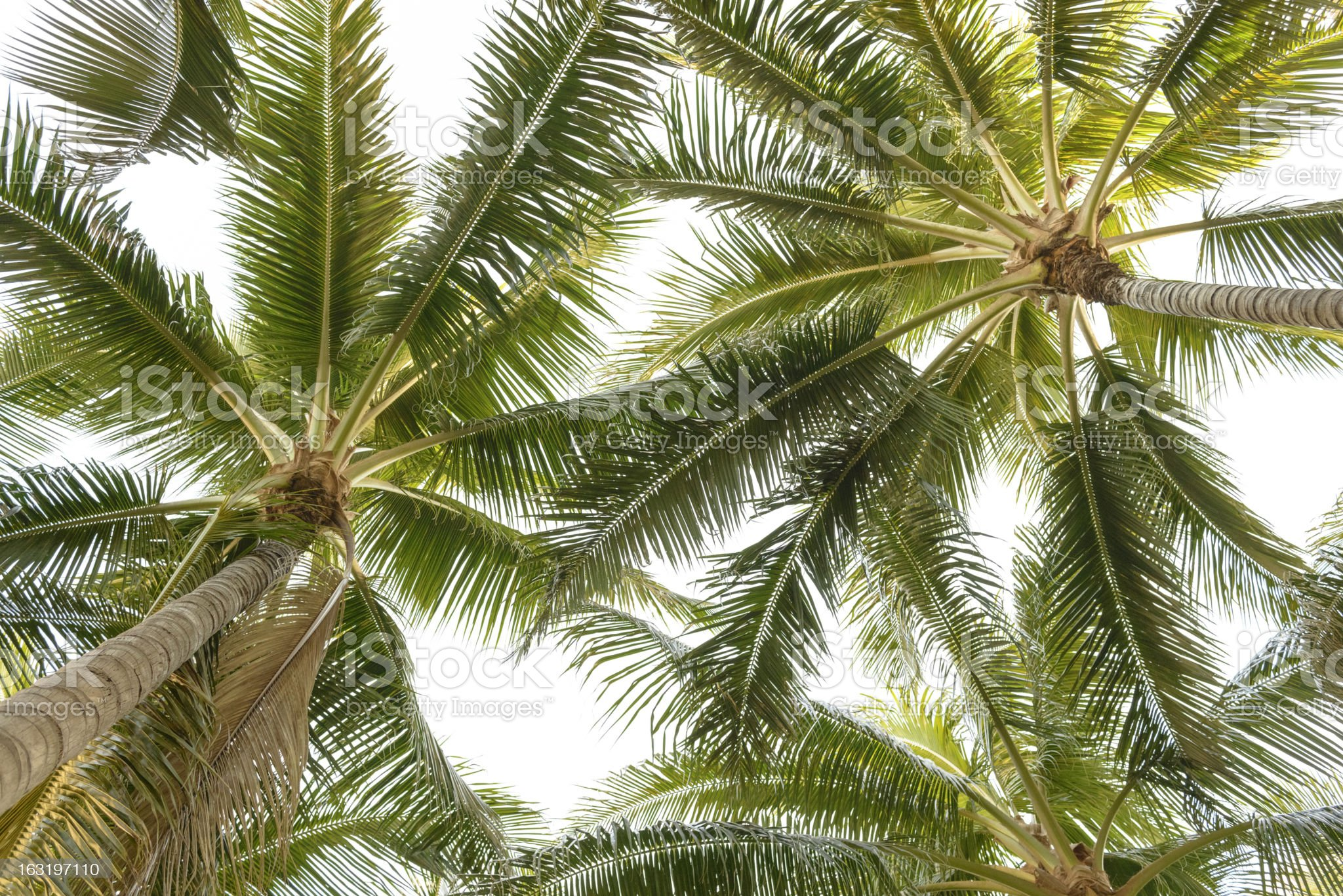 Looking up at a cluster of palm trees royalty-free stock photo