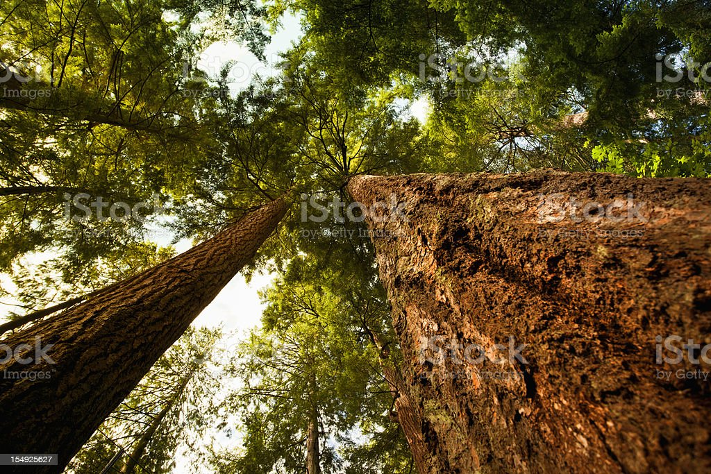 Looking up at a dense forest royalty-free stock photo
