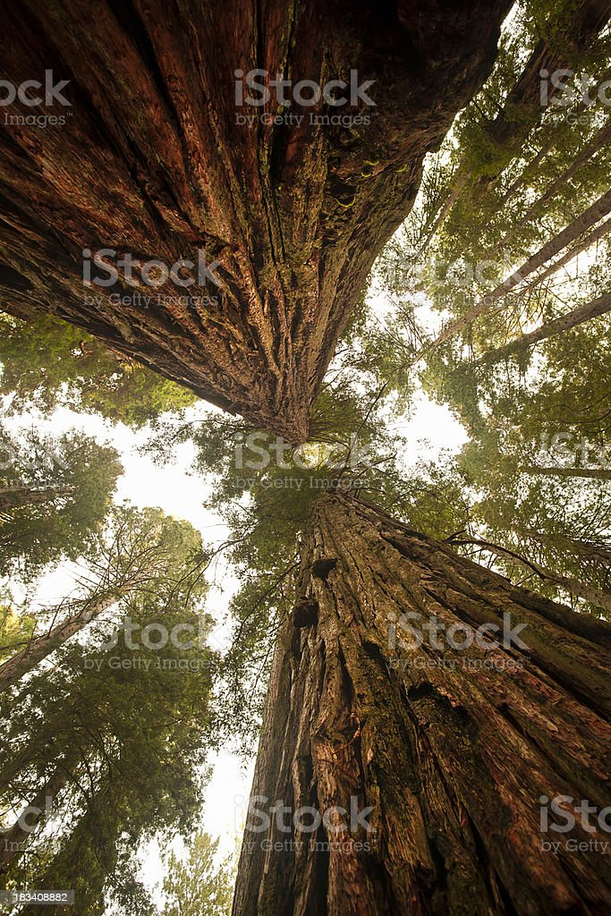 Looking up at a dense Sequoia forest stock photo