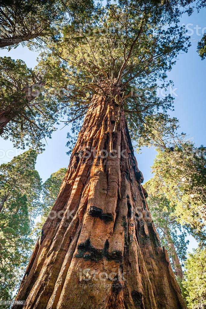 Looking Up At A Giant Sequoia, Sequoia National Park royalty-free stock photo