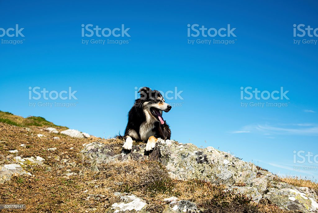 Looking up at a sheepdog resting on a  rock stock photo