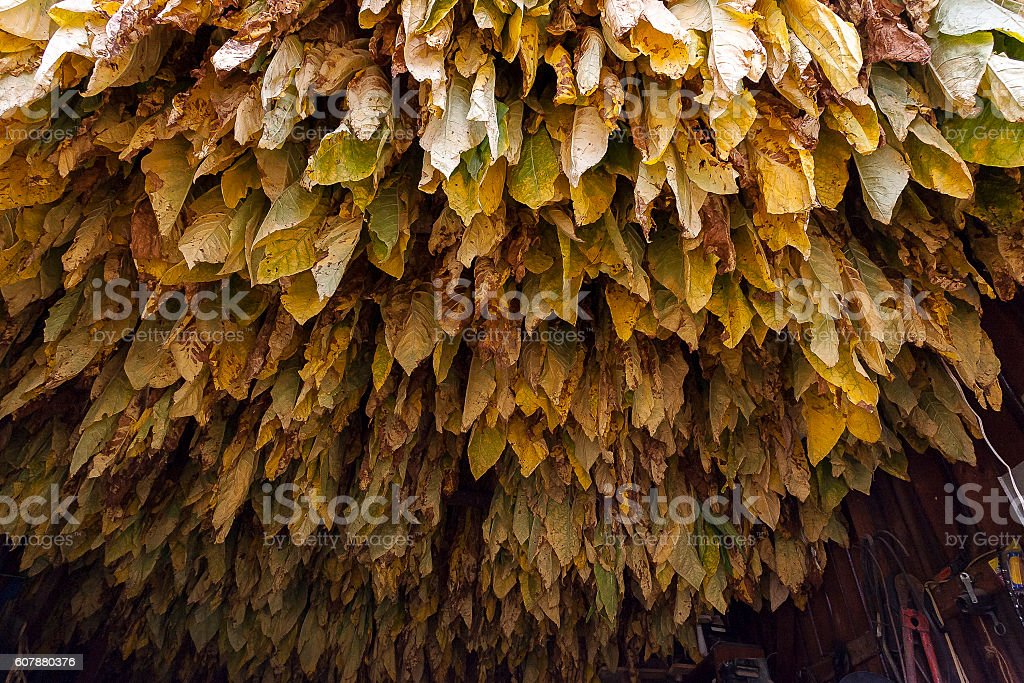 Looking Up at Burley Tobacco Leaves stock photo