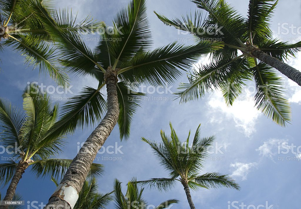 Looking up at palm trees stock photo