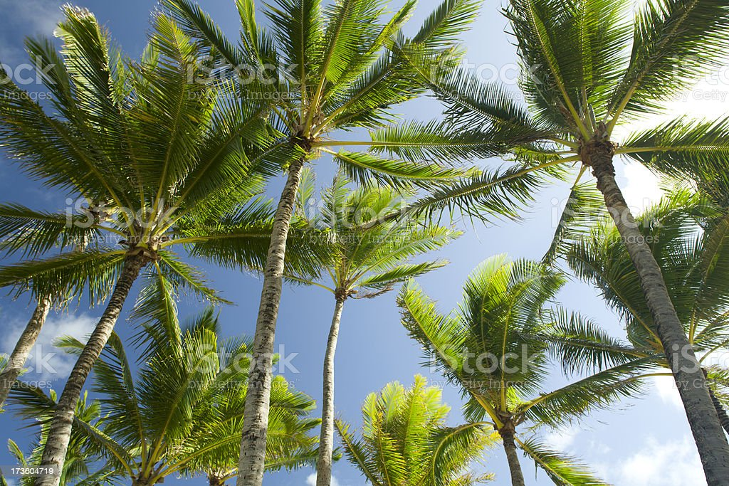 Looking up at palms. stock photo