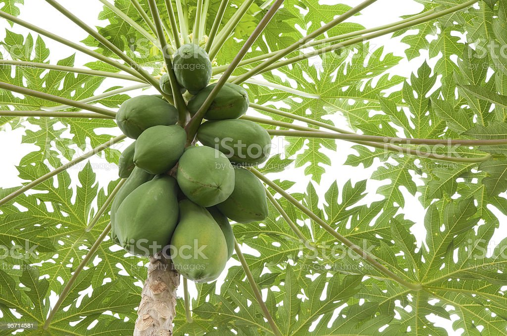 Looking up at papayas growing in a bunch on a tree stock photo