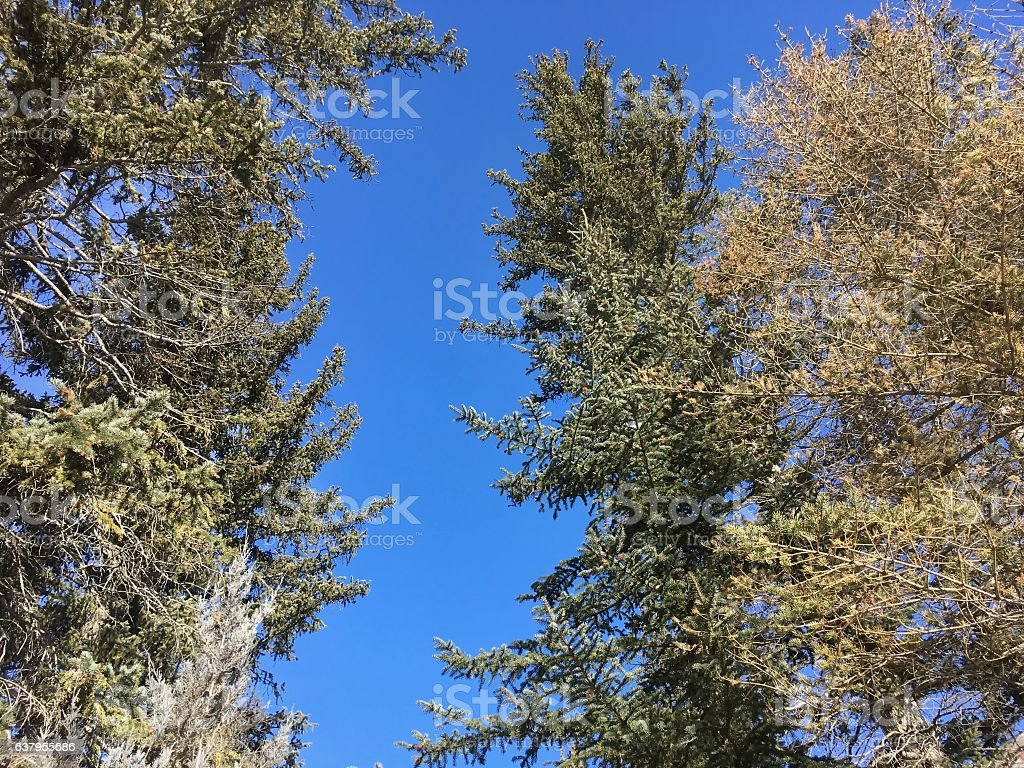 looking up at pine trees and a blue sky stock photo