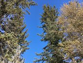 looking up at pine trees and a blue sky