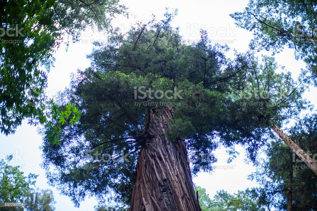 Looking up at redwood tree stock photo
