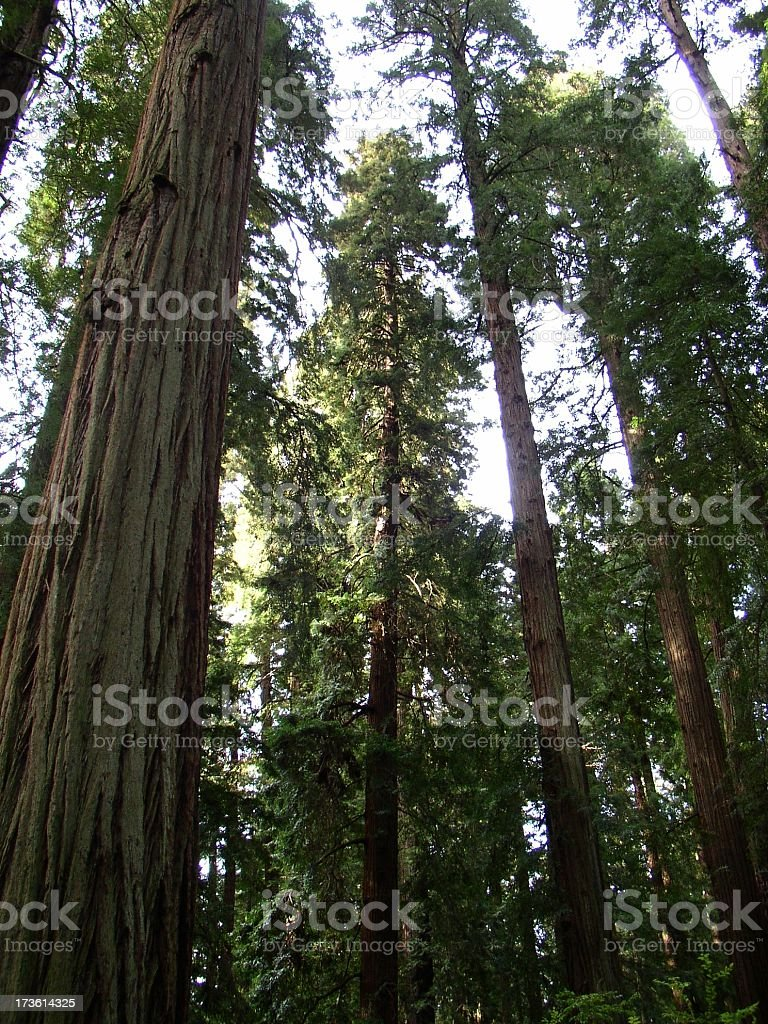 looking up at redwoods royalty-free stock photo