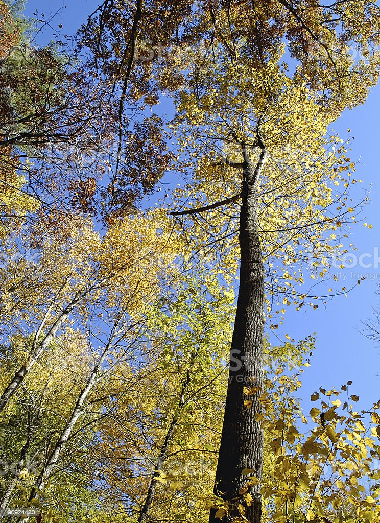 looking up at tall oak tree in autumn royalty-free stock photo
