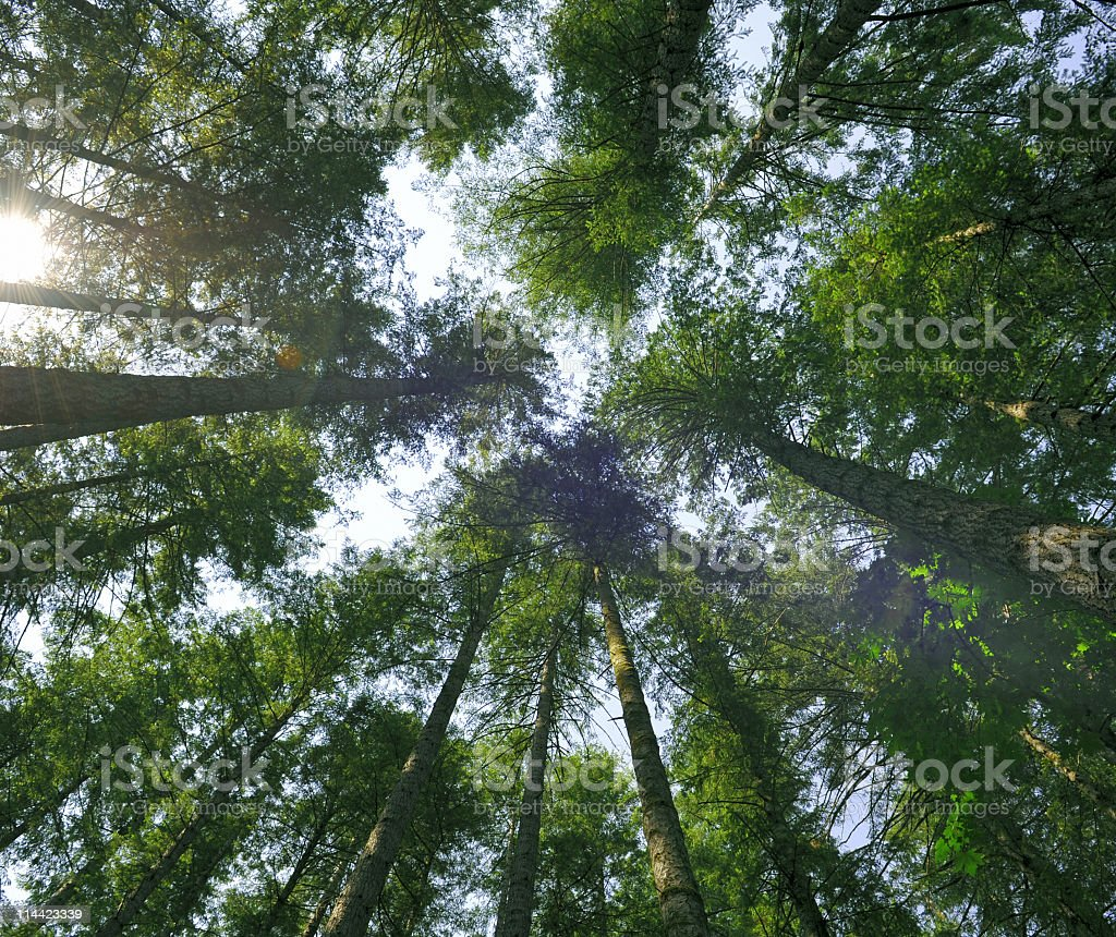 Looking up at trees  in the forest royalty-free stock photo