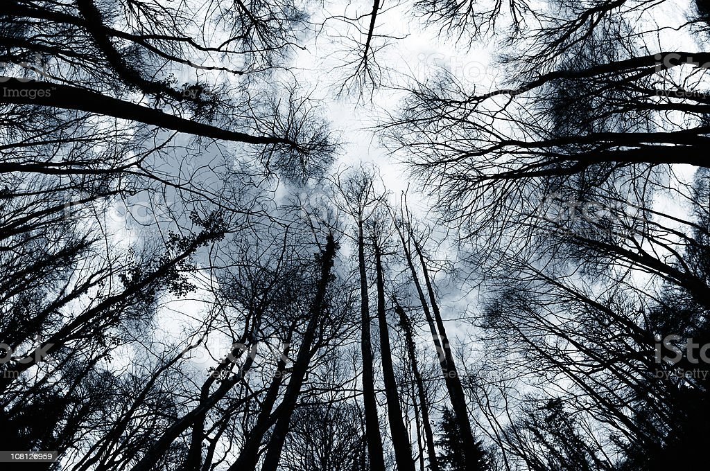 Looking Up at Winter Trees in Forest royalty-free stock photo
