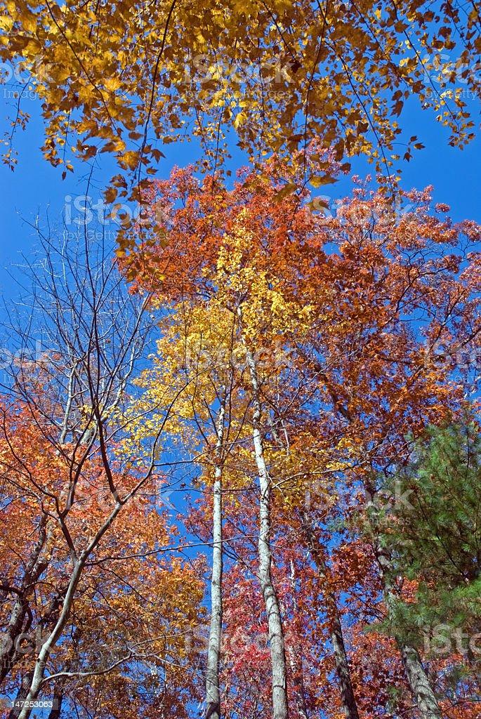 Looking Up Fall Foliage royalty-free stock photo