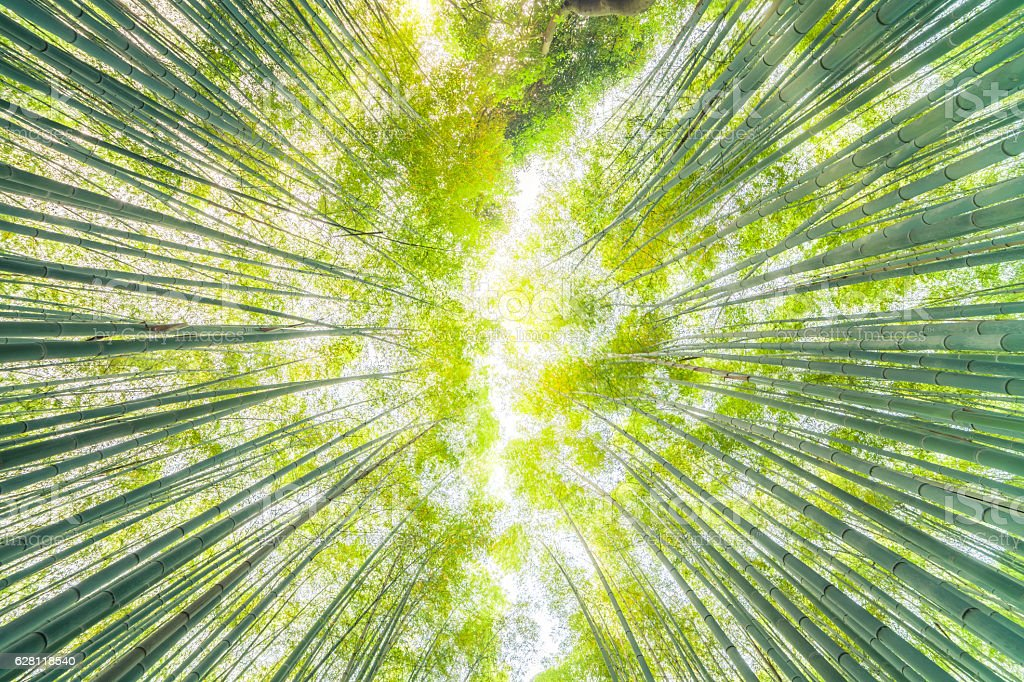 Looking up in a bamboo forest stock photo