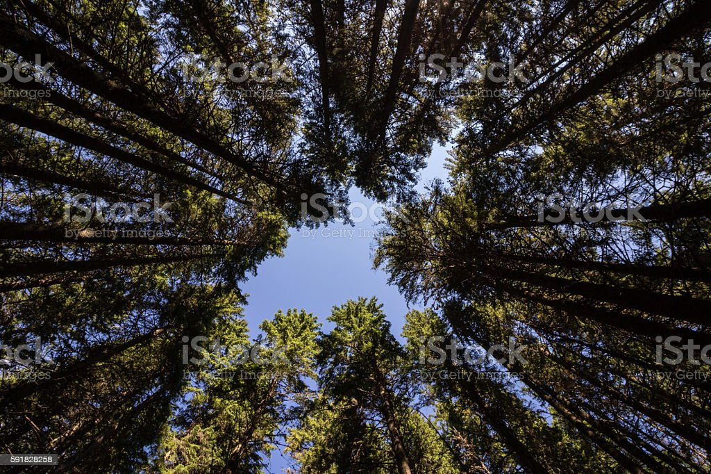 looking up in forest stock photo