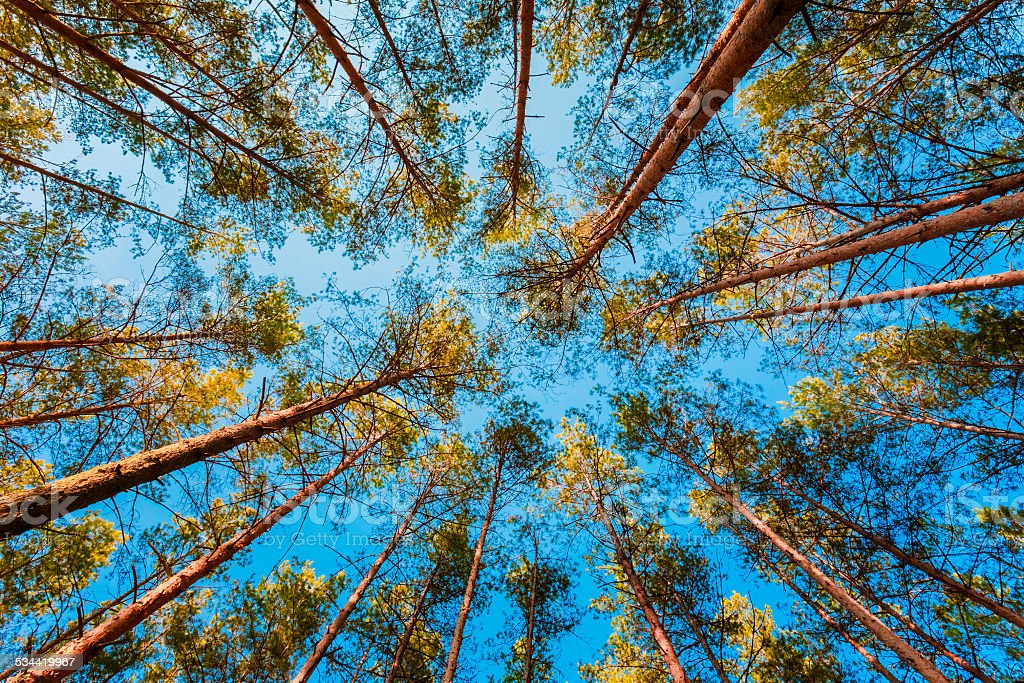 Looking Up In Spring Pine Forest Tree To Canopy stock photo
