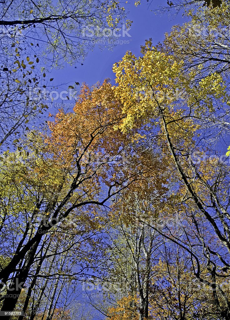 Looking Up into Autumn Leaves royalty-free stock photo