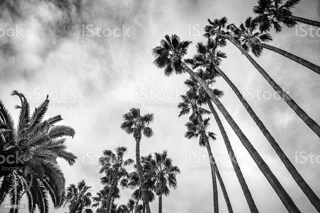 Looking Up Into Palm Trees, Palisades Park, Santa Monica, B&W royalty-free stock photo
