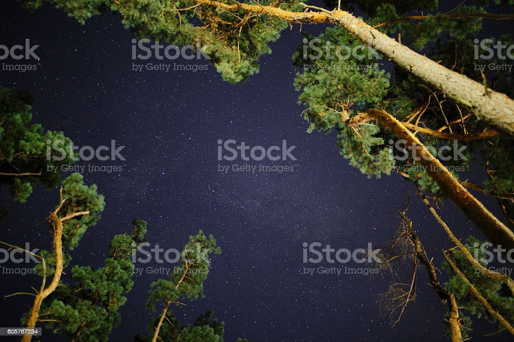 looking up on stars between pines in night sky stock photo