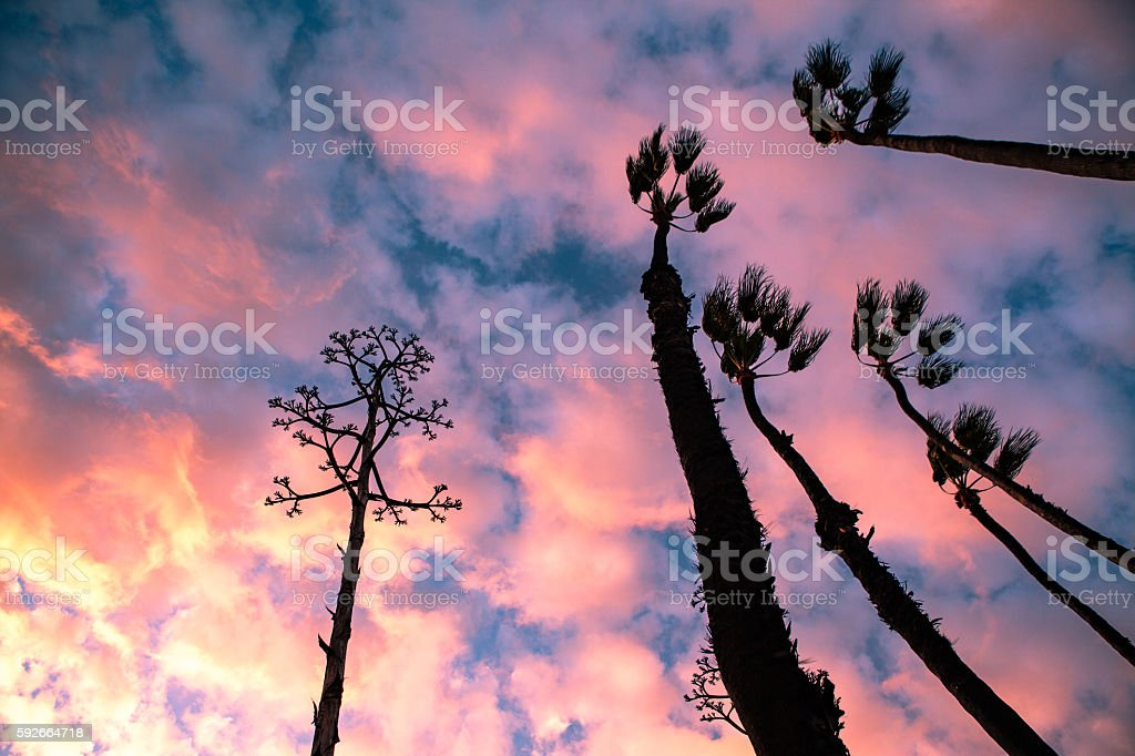 Looking Up, Pink Clouds, Windswept Palms & Agave, Santa Monica royalty-free stock photo