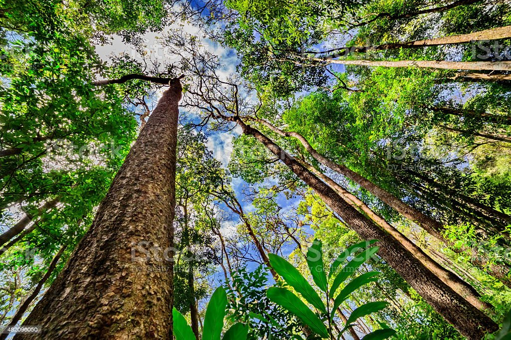 Looking up the trunk of a giant rainforest tree stock photo