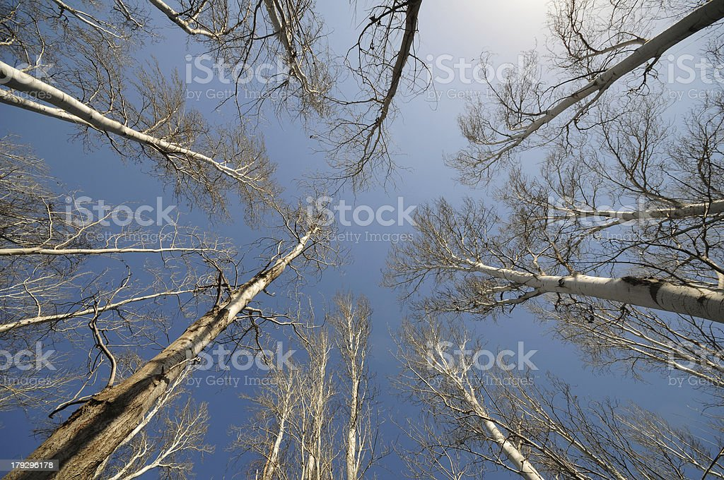 looking up through bare tall trees royalty-free stock photo