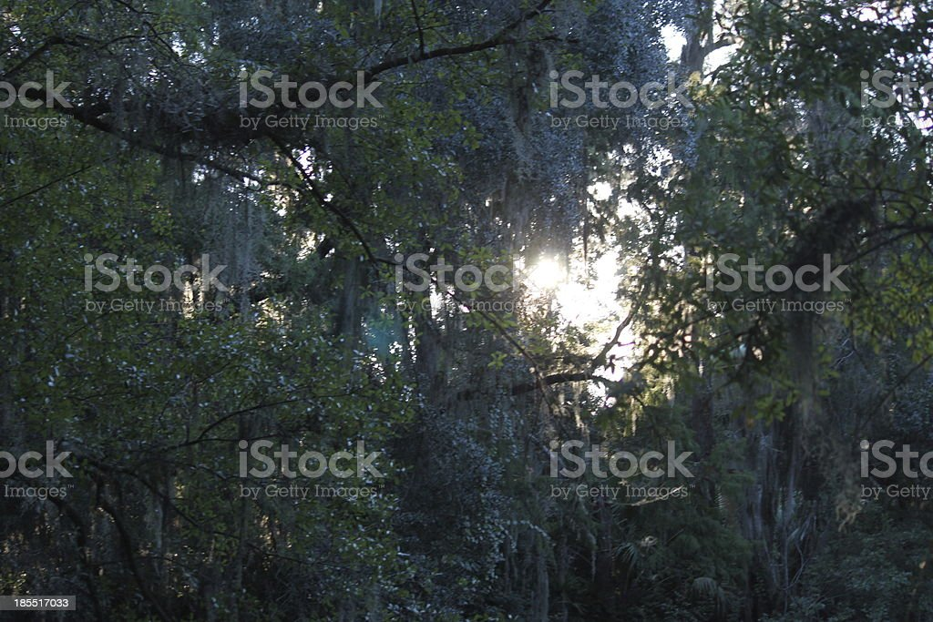 Looking up through oak trees to the sky stock photo